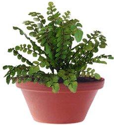 Полиподиум, многоножка - Комнатные цветы