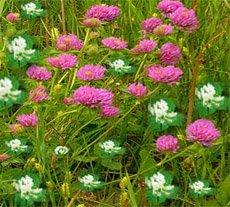 Клевер  луговой - Лекарственное растения