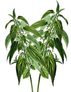 Крапива двудомная - Лекарственные растения