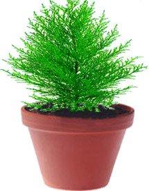 Кипарис - Комнатные растения