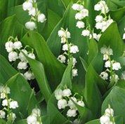 Ландыш майский - Лекарственные растения