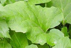 Лопух большой - Лекрственные растения