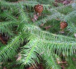 Куннингамия - Комнатные растения