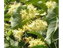 Липа сердцелистная - Лекарственные растения