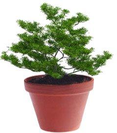 Тис - Комнатные растения