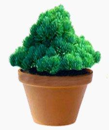 Сосна - Комнатные растения