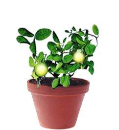 Лимон - Комнатные растения