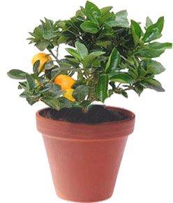 Мандарин — Комнатные растения