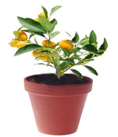 Кинкан - Комнатные растения