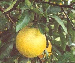 Грейпфрут - Комнатные растения