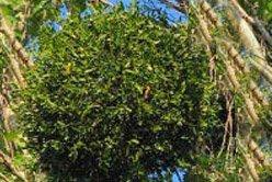 Омела белая - Лекарственные растения