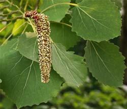 Осина - Лекарственные растения