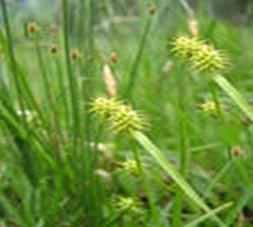 Осока колхидская - Лекарственные растения