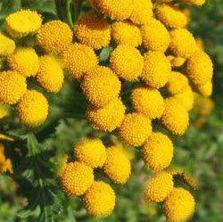 Пижма обыкновенная - Лекарственные растения