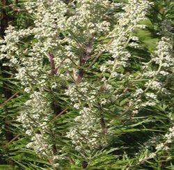 Полынь обыкновенная - Лекарственные растения