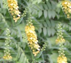 Репешок обыкновенный - Лекарственные растения