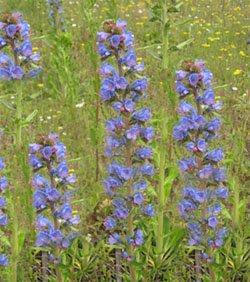 Синяк  обыкновенный - Лекарственные растения