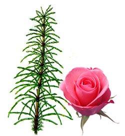 Лечение кожи лица при помощи розы и полевого хвоща