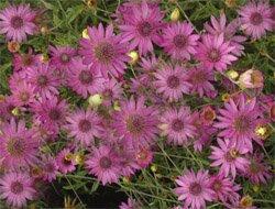 Сухоцвет однолетний - Лекарственные растения