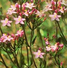 Сушеница болотная - Лекарственные растения