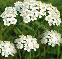 Тысячелистник обыкновенный - Лекарственные растения