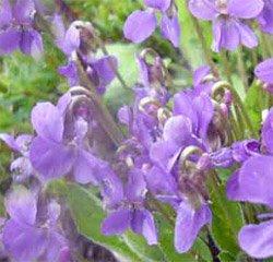 Фиалка   полевая - Лекарственные растения