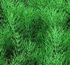 Хвощ полевой - Лекарственные растения