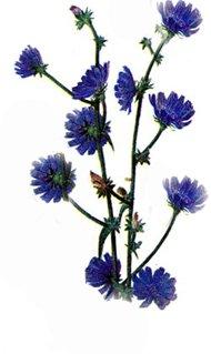 Цикорий обыкновенный - Лекарственные растения