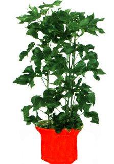 Фатсхедера лизе гибридная - Комнатные растения