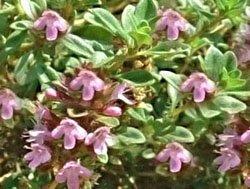 Чабрец   Маршалла - Лекарственные растения