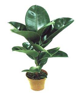 Фикус каучуконосный - Комнатные растения