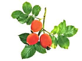 Шиповник  коричный - Лекарственные растения
