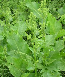 Щавель   конский - Лекарственные растения