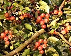 Яблоня лесная - Лекарственные растения