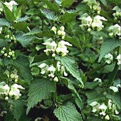 Яснотка белая - Лекарственные растения