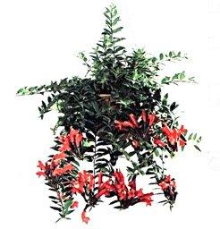 Эсхинатус  укореняющийся - Комнатные растения