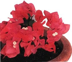 Бугенвиллия  бутта - Лекарственные растения