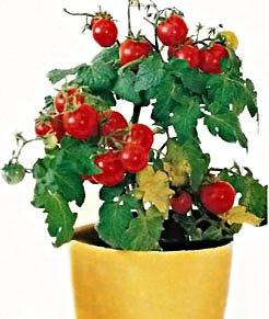 Карликовый томат
