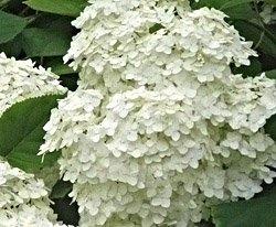 Аралия маньчжурская - Лекарственные растения