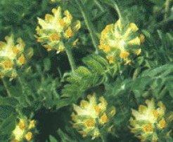 Астрагал шерстистоцветковый - Лекарственные растения
