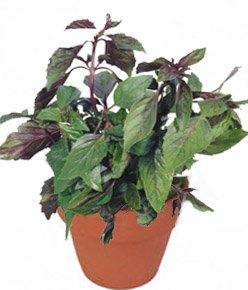 Базилик обыкновенный - Лекарственные растения