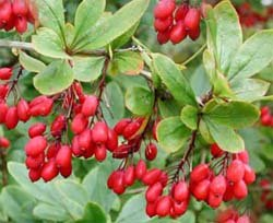 Барбарис обыкновенный - Лекарственные растения