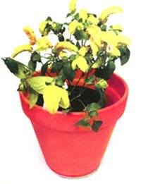 Юстиция брандегее - Комнатные цветы