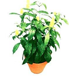 Пахистахис желтый - Комнатные цветы