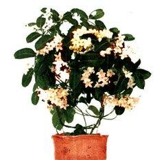 Стефанотис обильноцветущий - Комнатные растения