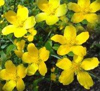 Желтушник раскидистый - Лекарственные растения