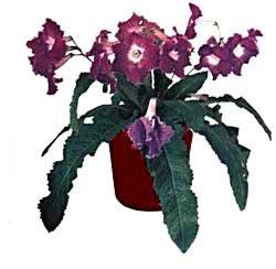 Стрептокарпус гибридный - Комнатные цветы