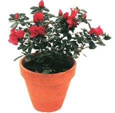 Азалия индийская - Комнатные цветы