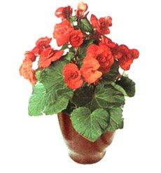 Бегония клубневая гибридная - Комнатные цветы