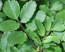 Каланхоэ перистое - лекарственные растения
